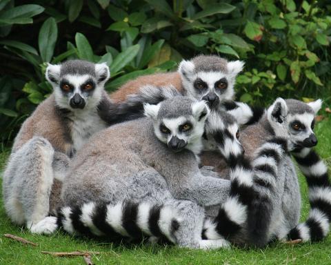 lemures-madagascar-ecoturismo.jpg